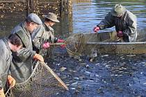 Tradiční podzimní výlovy rybníků jsou na Vysočině v plném proudu. Prodejní cena ryb ale  oproti loňskému roku vzroste.