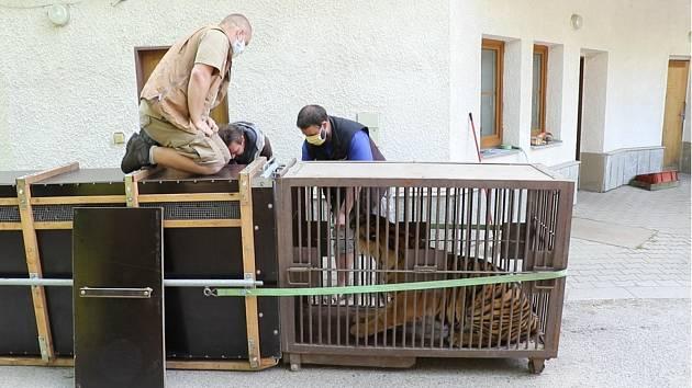 Tygřice ještě v Jihlavě vystřídala dvě transportní bedny.