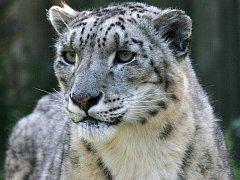 Irbis, neboli levhart sněžný (Uncia uncia)
