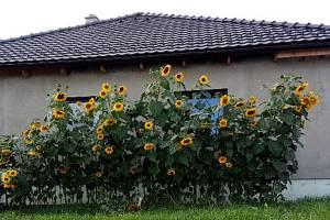 Bezděčín zaplavily žluté květiny.