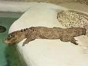 Nový aligátor se zabydluje v jihlavské zoo.