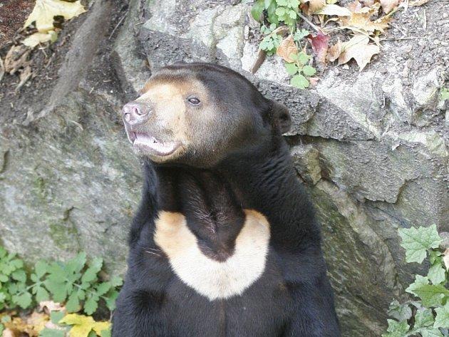 Tento druh medvěda se má na jaře vrátit do zoo v Jihlavě.