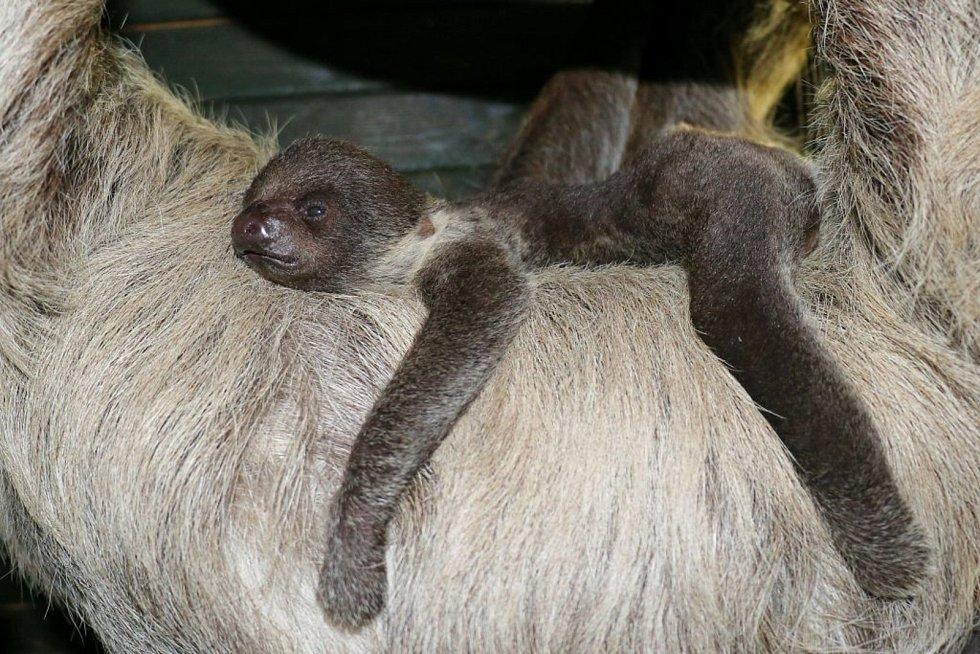 Malý lenochod dvouprstý zatím zůstává pro návštěvníky ukrytý.
