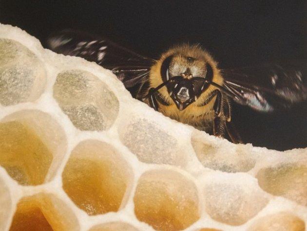 V úlu. Pro včely byla dlouhá zima náročná.