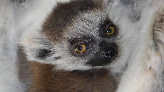Mládě lemura kata se má čile k světu. Návštěvníci zoo se mohou těšit také z malých jehňátek a kůzlátek.