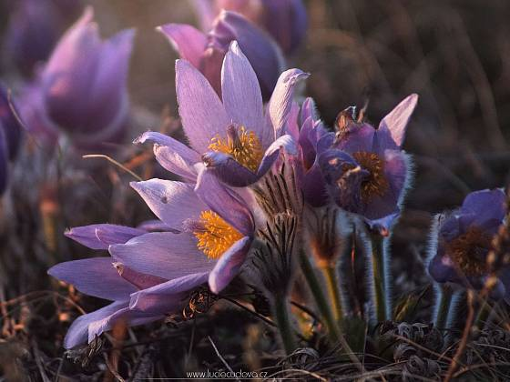 V přírodě kvetou taky koniklece.