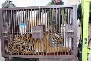 Tygr Dustin v jihlavské zoo
