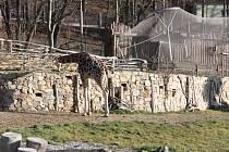 Lednové slunce vylákalo do výběhu i dvě mladé jihlavské žirafy.