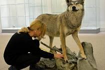 Sražený vlk z dálnice D1 je nyní ve vlastnictví Muzea Vysočiny Jihlava.