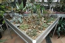 Tradiční výstava exotických rostlin, jež zavzpomíná i na českého cestovatele, spisovatele a etnografa Alberta Vojtěcha Friče,  potrvá v jihlavském Muzeu Vysočiny od středy do neděle. Letos bude zaměřena hlavně na takzvané okenní pěstitele.