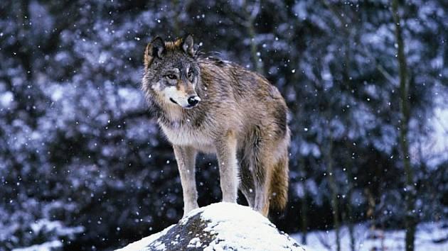 2de38372f1d Ochránci vyrazili do Beskyd stopovat vlky