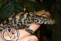 Nejstarší obyvatel jihlavské zoologické zahrady krokodýl Rocco stihl za svůj padesátiletý život zplodit celkem sedmadvacet potomků.