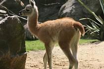 Sameček lamy guanako se narodil 31. července a je tak nejnovější ozdobou jihoamerického výběhu jihlavské zoo.