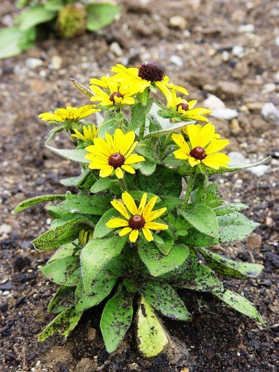 Jedna z rozkvetlých květin