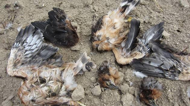 Pachatel, který brutálním způsobem zabil dvě mláďata vzácného dravce, musí být zřejmě psychicky narušenou osobností.