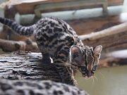 Margayové jsou vzácné kočkovité šelmy, které se podařilo jihlavské zoologické zahradě odchovat.