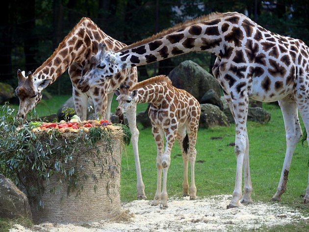 V říjnu 2010 byl Manu žirafím mládětem, které v ostravské zoologické zahradě slavnostně pokřtili. Ve čtvrtek už by měl dvouletý samec žirafy Rothschildovy přijet do Jihlavy. Tady bude nyní doma.