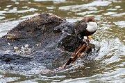 Zpěvný pták z čeledi skorcovitých žije zpravidla v blízkosti vodních toků.