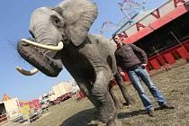Ozdobou cirkusu je rovněž africká slonice Tembo. Cirkus Bohumila Navrátila je tento týden v Jihlavě.