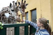 Z Afriky pochází také žirafy, které si lidé budou moci v jihlavské zoo takto zblízka prohlédnout už příští rok.