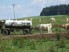 Tráva je svěží jen na vlhčích loukách. Pro hospodářská zvířata je za sucha a horka nejdůležitější zajistit vodu na pití. Na snímku pastvina na okraji Jihlavy.