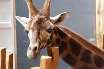 Žirafí samci poutali pozornost už při svém příjezdu.