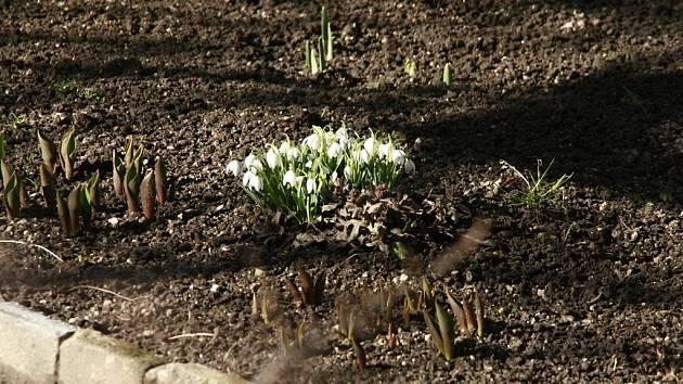Na zahrádkách v Jihlavě nyní začínají kvést bledule a další jarní květiny. Vypadá to, že letos už zimě definitivně odzvonilo a jaro se pomalu hlásí o slovo.