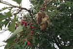 Třešně v aleji u Pavlova na Jihlavsku momentálně obývají škůdci. Ty mohou značnou část úrody dokonce zničit.