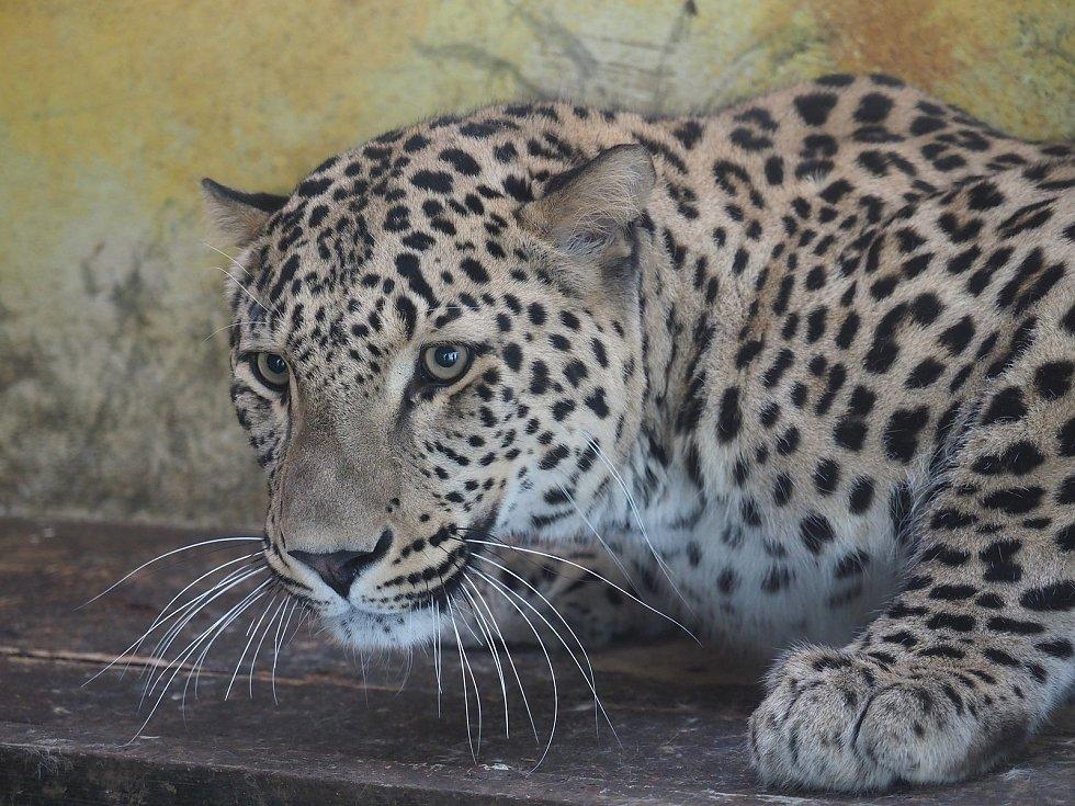 Nový levhart v Zoo Jihlava. Foto: Zoologická zahrada Jihlava