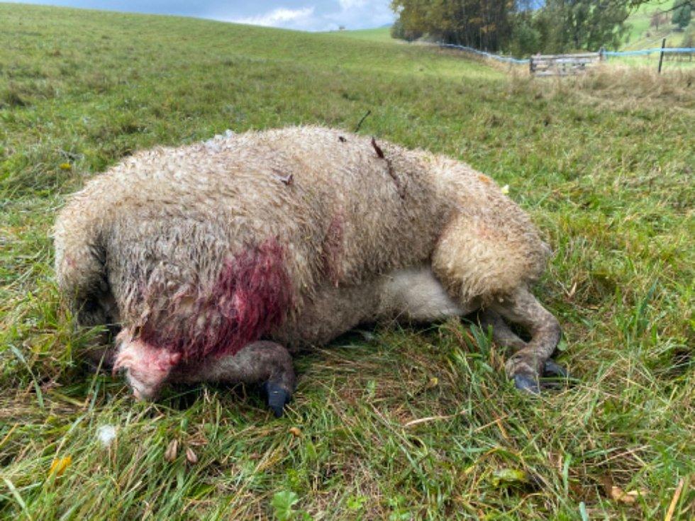 Po dalším útoku vlků zůstalo na pastvině Jana Šefc v Lachově osm mrtvých kusů a více než desítka zraněných. Foto: M.A. Menčíková