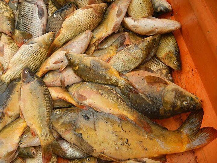 JAROMĚŘŠTÍ RYBÁŘI vylovili z Doleckého rybníka přes dvě tuny mrtvých ryb, které byly určené pro chov.
