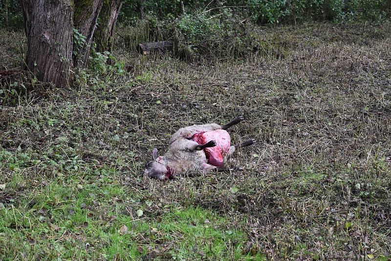 Dvě zardoušené ovce mají vlci na svědomí i v Janovicích na Trutnovsku. Foto: Deník/Jiří Řezník