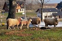 Vlci napadli ovce na Náchodsku...