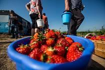 Samosběr jahod v Nahořanech na Náchodsku.