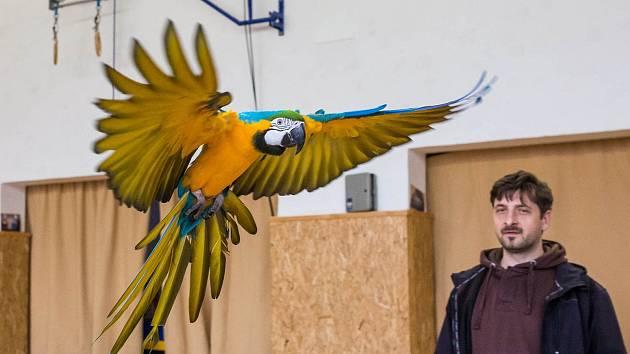Volné létání papoušků v sokolovně ve Studnici.
