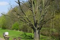 Letitý byl původně odsouzen k pokácení. Nakonec byl strom řezem upraven na torzo.
