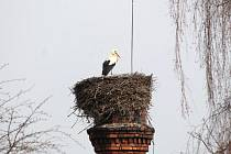 Z KOMÍNA U BROUMOVSKÉ nemocnice se včera odpoledne čáp rozhlížel po svých soukmenovcích. Nové hnízdo na komíně v Polici nad Metují na své nájemníky teprve čeká.
