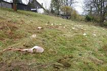 Chovatelce Janě Jirmanové z Vysoké Srbské zadávili jednu ovci a další čtyři těžce poranili. Foto: Archiv LDVI