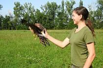 Vypouštění dravců do volné přírody.