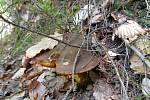 Už rostou! V lesích vystrkují klobouky hřiby kováři.