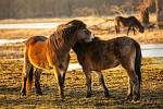 Divocí koně na loukách v Josefově.