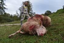 Zkrvavený kadáver ovce ležel jen zhruba 15 metrů od domu zrovna v místech, kde chovatel ovcí spal. Přesto v noci žádné známky boje o život nezaregistroval. Foto: Deník/Jiří Řezník