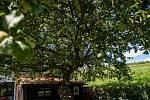 V soutěži strom roku se zatím drží na přdních místech Jabloň která se nachází na zahrádce hospody u Lidmanů v Machovské Lhotě.