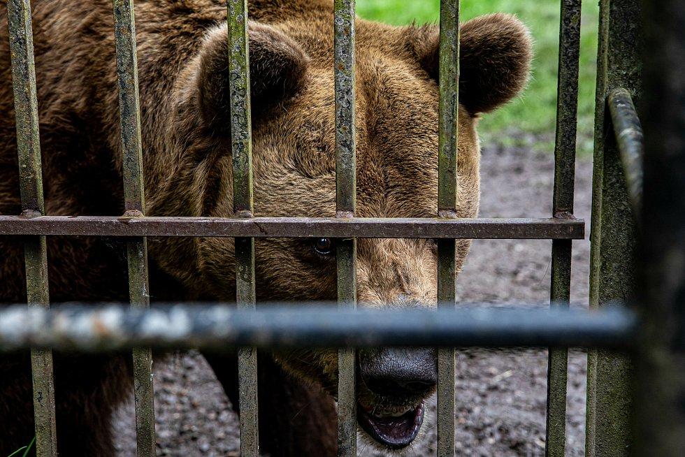 Náchodští medvědi Dáša a Ludvík žijí na zámku už déle než čtvrt století. Z hluku při revitalizace zámeckého kopce radost nemají.