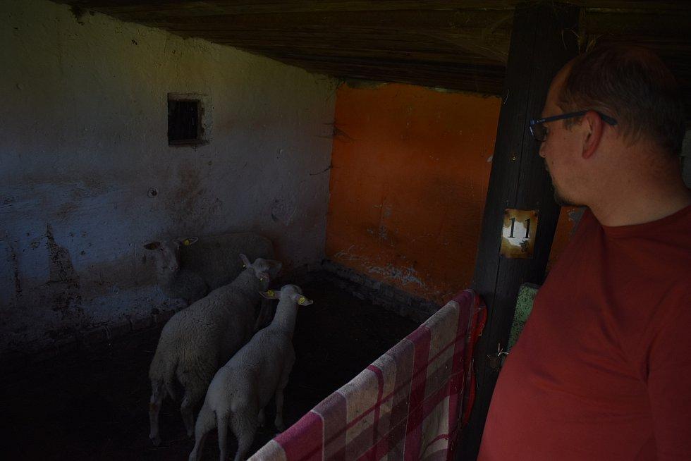 Ovce se seznamují s novým prostředím.
