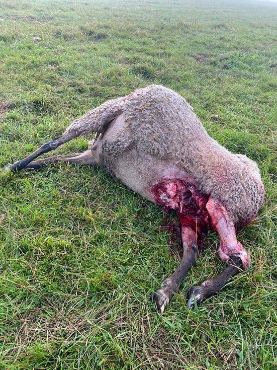Noc na pondělí nepřežilo dalších pět ovcí.  Foto: Archiv Vladimír   Menčík