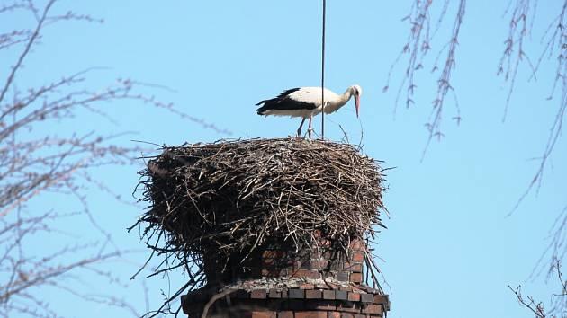 ČÁP NA KOMÍNĚ u broumovské nemocnice se v úterý věnoval úpravě hnízda.