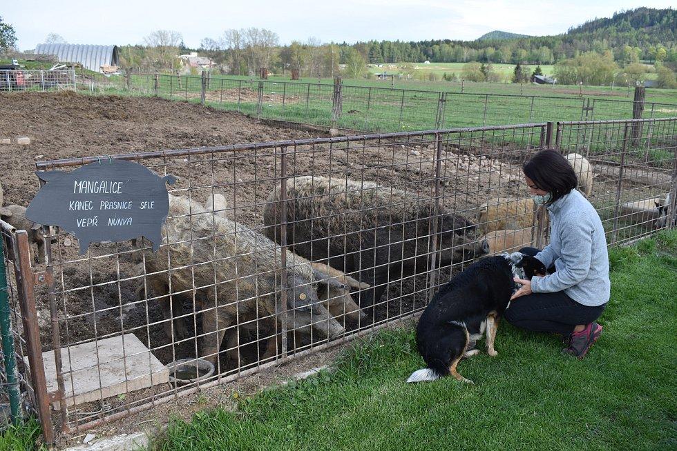 Farmářka Lucie Bošinová u výběhu prasat plemene Mangalica. Podle jejich slov to jsou oblíbenci návštěvníků Ekofarmy Bošina.
