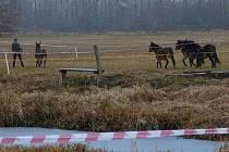 DIVOCÍ EXMOORŠTÍ koně z Milovic, kteří spásají Josefovské louky, připravili mokřad na jaro pro bahňáky. Ochránci přírody je převedli kilometrovým koridorem na západní pastvinu, kde se setkali se zbytkem stáda. Na snímku je i osel Lojza vedený na ohávce.