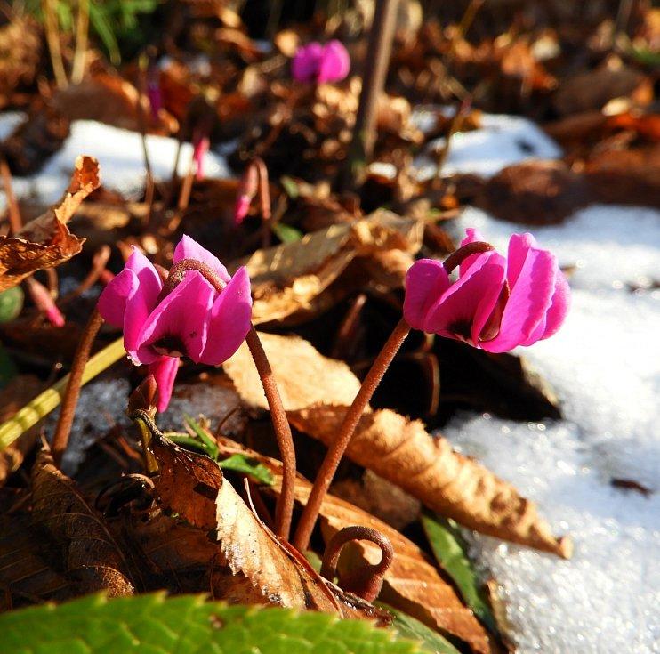 Další posel jara – brambořík Cyclamen pseudibericum, kterému nevadí ani sněhová pokrývka.  Pochází z jižního Turecka z pohoří Antitaurus.